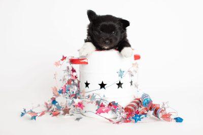 puppy280 week5 BowTiePomsky.com Bowtie Pomsky Puppy For Sale Husky Pomeranian Mini Dog Spokane WA Breeder Blue Eyes Pomskies Celebrity Puppy web1