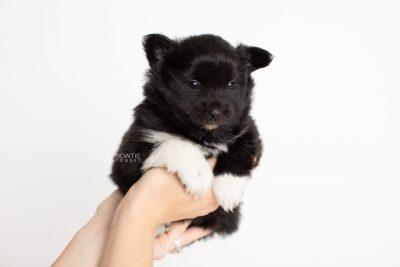 puppy280 week5 BowTiePomsky.com Bowtie Pomsky Puppy For Sale Husky Pomeranian Mini Dog Spokane WA Breeder Blue Eyes Pomskies Celebrity Puppy web7