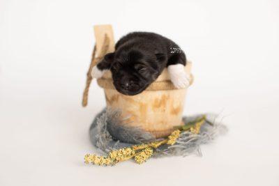 puppy281 week1 BowTiePomsky.com Bowtie Pomsky Puppy For Sale Husky Pomeranian Mini Dog Spokane WA Breeder Blue Eyes Pomskies Celebrity Puppy web3