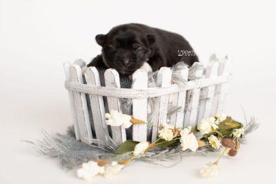 puppy281 week1 BowTiePomsky.com Bowtie Pomsky Puppy For Sale Husky Pomeranian Mini Dog Spokane WA Breeder Blue Eyes Pomskies Celebrity Puppy web4
