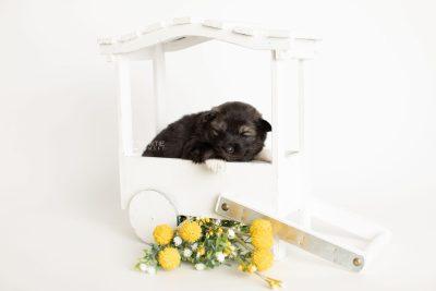 puppy281 week3 BowTiePomsky.com Bowtie Pomsky Puppy For Sale Husky Pomeranian Mini Dog Spokane WA Breeder Blue Eyes Pomskies Celebrity Puppy web1
