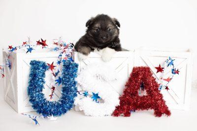 puppy281 week5 BowTiePomsky.com Bowtie Pomsky Puppy For Sale Husky Pomeranian Mini Dog Spokane WA Breeder Blue Eyes Pomskies Celebrity Puppy web2