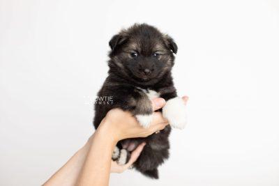puppy281 week5 BowTiePomsky.com Bowtie Pomsky Puppy For Sale Husky Pomeranian Mini Dog Spokane WA Breeder Blue Eyes Pomskies Celebrity Puppy web7