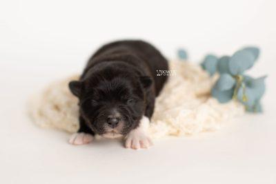 puppy282 week1 BowTiePomsky.com Bowtie Pomsky Puppy For Sale Husky Pomeranian Mini Dog Spokane WA Breeder Blue Eyes Pomskies Celebrity Puppy web2