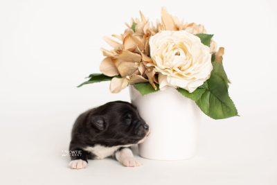 puppy282 week1 BowTiePomsky.com Bowtie Pomsky Puppy For Sale Husky Pomeranian Mini Dog Spokane WA Breeder Blue Eyes Pomskies Celebrity Puppy web5