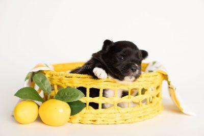 puppy282 week3 BowTiePomsky.com Bowtie Pomsky Puppy For Sale Husky Pomeranian Mini Dog Spokane WA Breeder Blue Eyes Pomskies Celebrity Puppy web3