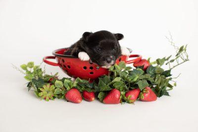 puppy282 week3 BowTiePomsky.com Bowtie Pomsky Puppy For Sale Husky Pomeranian Mini Dog Spokane WA Breeder Blue Eyes Pomskies Celebrity Puppy web4
