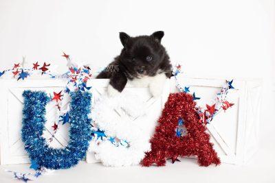 puppy282 week5 BowTiePomsky.com Bowtie Pomsky Puppy For Sale Husky Pomeranian Mini Dog Spokane WA Breeder Blue Eyes Pomskies Celebrity Puppy web2