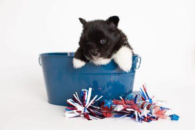 puppy282 week5 BowTiePomsky.com Bowtie Pomsky Puppy For Sale Husky Pomeranian Mini Dog Spokane WA Breeder Blue Eyes Pomskies Celebrity Puppy web3