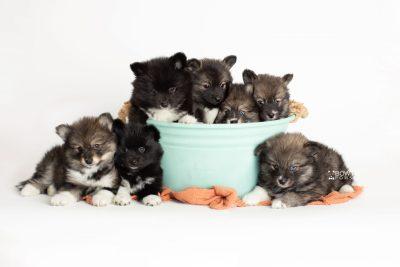 puppy276-282 week7 BowTiePomsky.com Bowtie Pomsky Puppy For Sale Husky Pomeranian Mini Dog Spokane WA Breeder Blue Eyes Pomskies Celebrity Puppy web