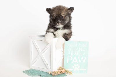 puppy278 week7 BowTiePomsky.com Bowtie Pomsky Puppy For Sale Husky Pomeranian Mini Dog Spokane WA Breeder Blue Eyes Pomskies Celebrity Puppy web1