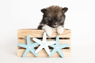 puppy278 week7 BowTiePomsky.com Bowtie Pomsky Puppy For Sale Husky Pomeranian Mini Dog Spokane WA Breeder Blue Eyes Pomskies Celebrity Puppy web3