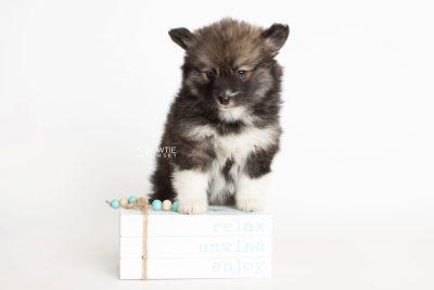 puppy278 week7 BowTiePomsky.com Bowtie Pomsky Puppy For Sale Husky Pomeranian Mini Dog Spokane WA Breeder Blue Eyes Pomskies Celebrity Puppy web4