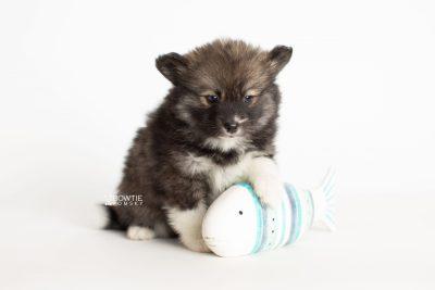 puppy278 week7 BowTiePomsky.com Bowtie Pomsky Puppy For Sale Husky Pomeranian Mini Dog Spokane WA Breeder Blue Eyes Pomskies Celebrity Puppy web5