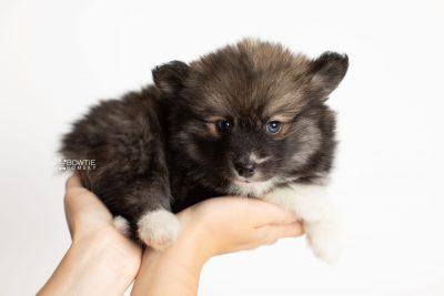puppy278 week7 BowTiePomsky.com Bowtie Pomsky Puppy For Sale Husky Pomeranian Mini Dog Spokane WA Breeder Blue Eyes Pomskies Celebrity Puppy web7