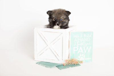puppy279 week7 BowTiePomsky.com Bowtie Pomsky Puppy For Sale Husky Pomeranian Mini Dog Spokane WA Breeder Blue Eyes Pomskies Celebrity Puppy web1