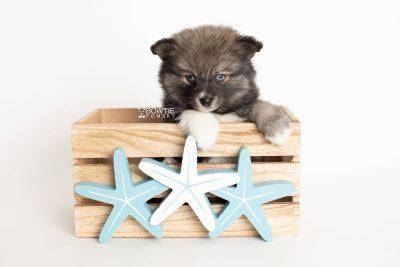 puppy279 week7 BowTiePomsky.com Bowtie Pomsky Puppy For Sale Husky Pomeranian Mini Dog Spokane WA Breeder Blue Eyes Pomskies Celebrity Puppy web3