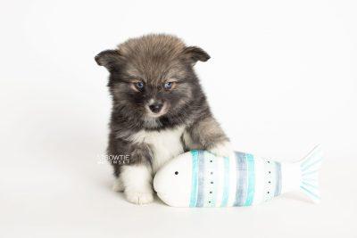 puppy279 week7 BowTiePomsky.com Bowtie Pomsky Puppy For Sale Husky Pomeranian Mini Dog Spokane WA Breeder Blue Eyes Pomskies Celebrity Puppy web5
