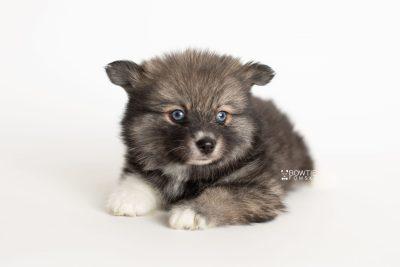 puppy279 week7 BowTiePomsky.com Bowtie Pomsky Puppy For Sale Husky Pomeranian Mini Dog Spokane WA Breeder Blue Eyes Pomskies Celebrity Puppy web6