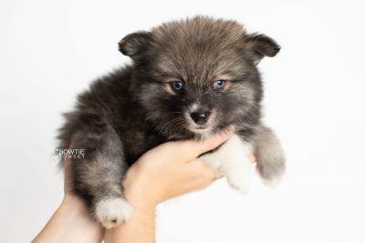 puppy279 week7 BowTiePomsky.com Bowtie Pomsky Puppy For Sale Husky Pomeranian Mini Dog Spokane WA Breeder Blue Eyes Pomskies Celebrity Puppy web7