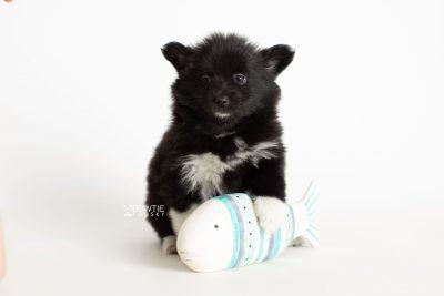 puppy280 week7 BowTiePomsky.com Bowtie Pomsky Puppy For Sale Husky Pomeranian Mini Dog Spokane WA Breeder Blue Eyes Pomskies Celebrity Puppy web5