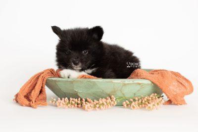 puppy281 week7 BowTiePomsky.com Bowtie Pomsky Puppy For Sale Husky Pomeranian Mini Dog Spokane WA Breeder Blue Eyes Pomskies Celebrity Puppy web2