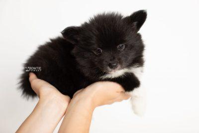 puppy281 week7 BowTiePomsky.com Bowtie Pomsky Puppy For Sale Husky Pomeranian Mini Dog Spokane WA Breeder Blue Eyes Pomskies Celebrity Puppy web7