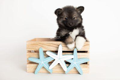 puppy282 week7 BowTiePomsky.com Bowtie Pomsky Puppy For Sale Husky Pomeranian Mini Dog Spokane WA Breeder Blue Eyes Pomskies Celebrity Puppy web3