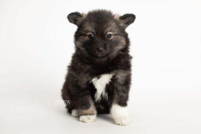 puppy282 week7 BowTiePomsky.com Bowtie Pomsky Puppy For Sale Husky Pomeranian Mini Dog Spokane WA Breeder Blue Eyes Pomskies Celebrity Puppy web6