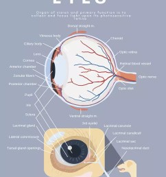dog canine eye anatomy diagram [ 800 x 1005 Pixel ]
