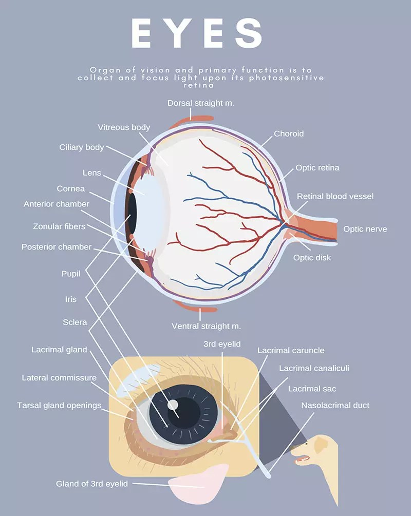 hight resolution of dog canine eye anatomy diagram