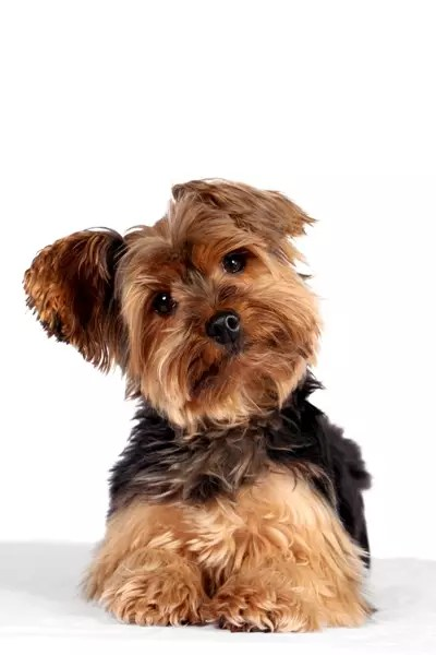 Yorkshire Terrier Bow Wow Meow Pet Insurance