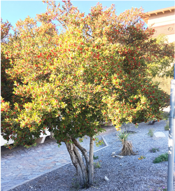 Yaupon Holly Tree Problems
