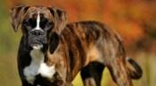 brindle-dog-breeds_1420180043