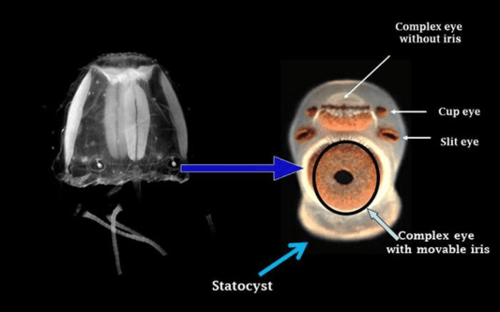 do box jellyfish have eyes