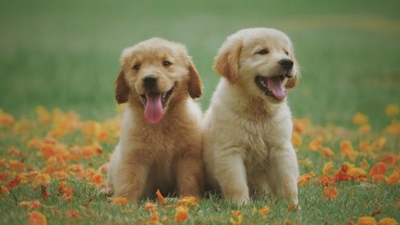 โกลเด้นรีทรีฟเวอร์ (Golden Retriever) เจ้าหมาแสนรู้ที่มองกี่ครั้งก็หลงรักเสมอ