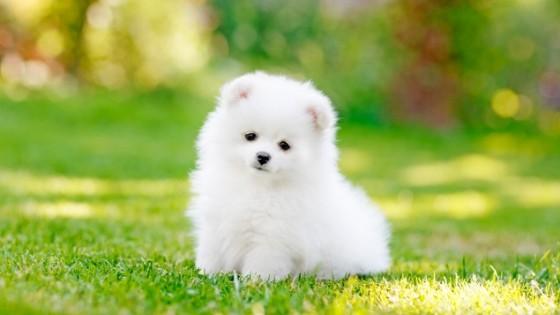ปอมเมอเรเนียน (Pomeranian) น้องหมาน่ารัก ขนฟูฟ่องที่มองทีไรก็รู้สึกแฮปปี้ทุกที
