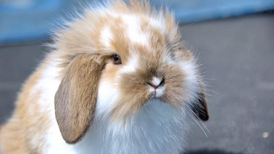 ฮอลแลนด์ลอป เป็นกระต่ายพันธุ์เล็กที่ได้จากผสมพันธุ์ มีต้นกำเนิดที่ประเทศเนเธอร์แลนด์ ได้ถูกพัฒนาสายพันธุ์ขึ้นมาอย่างต่อเนื่องเป็นระยะเวลาหลายสิบปี