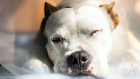 สุนัขใกล้คลอด มีอาการท้องแข็ง
