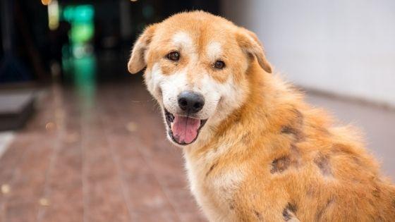 โรคผิวหนังอักเสบเป็นหนองสุนัข