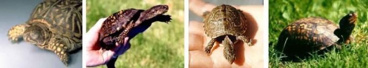 Box Turtle Information Site