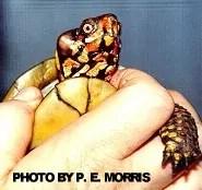 Box turtle diseases - lumps on cheeks