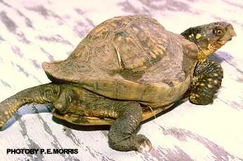 Irregular shell growth - box turtle diseases