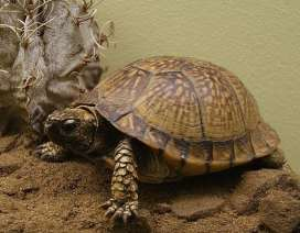 Photo of a mexican box turtle