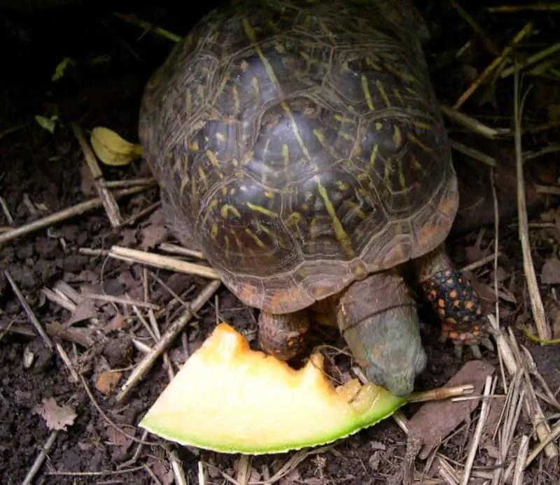 What Do Box Turtles Eat Box Turtle Site