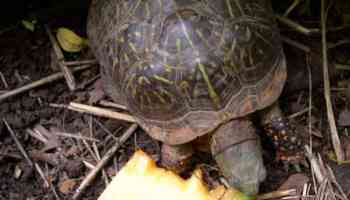 The Ultimate Guide On How To Build An Indoor And Outdoor Box Turtle Habitat Box Turtle Site