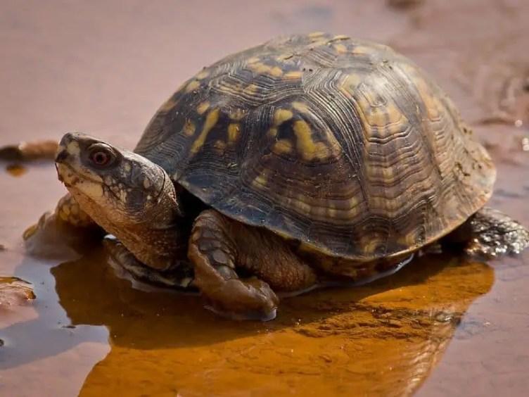box turtle soaking in water