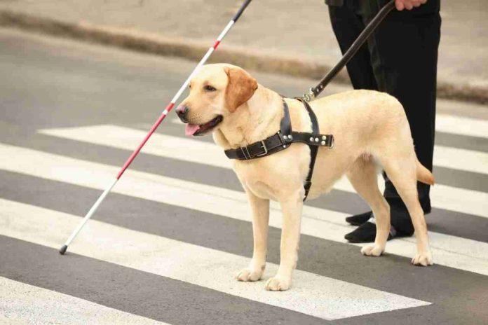 Canino ayuda a invidente