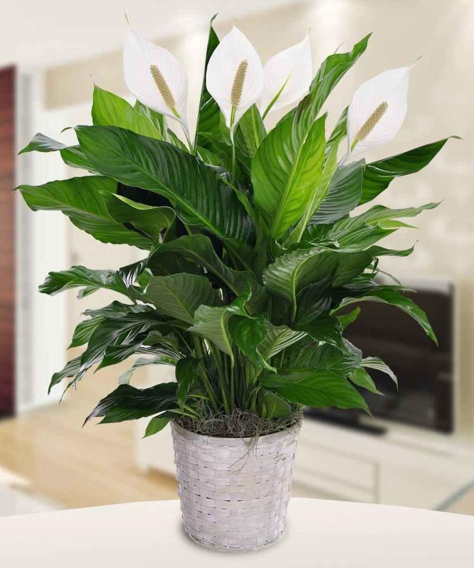 Spathophyllum Boyd39s Flowers