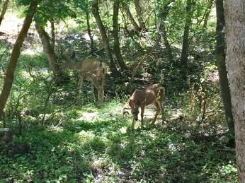 Mule deer 🦌